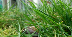 Close up shot of a slug laying eggs in grass Stock Footage