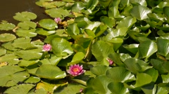 Pink water lily flowers blooming and green floating leaves wavin in a pond Stock Footage