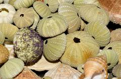Sea urchin skeletons Stock Photos