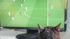 Cat sitting on a table and watching soccer on tv Stock Footage
