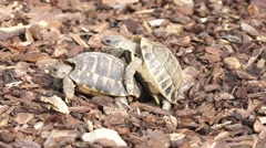 2 Tortoises in the Love Stock Footage
