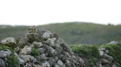 Little Owl Sitting on Top of a Wall before flying off Stock Footage