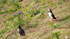 Puffins on Skomer Island, Pembrokeshire, 4K Stock Footage