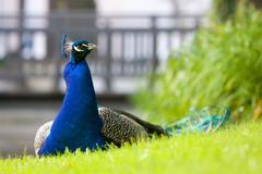 Peacock on a grass Stock Photos