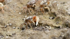 Fiddler crab group Stock Footage