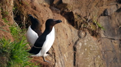 Razorbill (Alca torda) on Cliff on Skomer Island Stock Footage