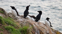 Razorbill (Alca trod) and Guillemot (Uria aalge) on Skomer Island Stock Footage
