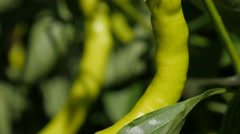 Green hot peppers on vines cultivated in the garden Stock Footage