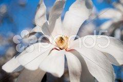 Fragile blooming magnolia Stock Photos