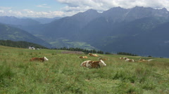 Cow on alpine meadow high on the mountain pasture Stock Footage