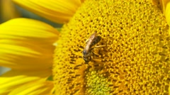 Sunflower working bee blue sky bright sunny weather close up 4k  natural energy Stock Footage