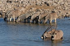Zebras and Oryx drinking water, Okaukeujo waterhole Stock Photos