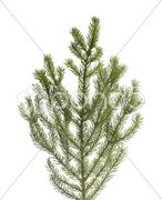 Spruce tree branch Stock Photos