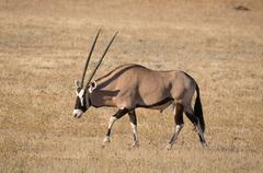 Oryx (Gemsbok) in the Kgalagadi Transfrontier Park Stock Photos