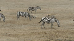 Zebra Herd Stock Footage