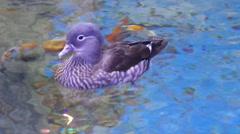Mandarin Duck Female (Aix galericulata) Stock Footage
