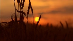 Wheat ears on a sunset Stock Footage