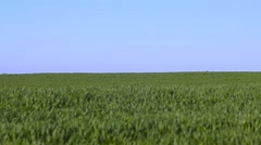 Green winter wheat swaying in the wind Stock Footage
