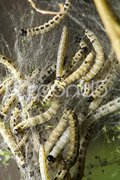 Bird-Cherry moth larvae Stock Photos