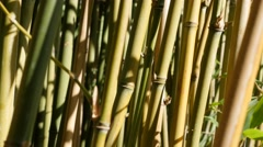 Fresh Poaceae family bamboo plant stalks on wind  4K  30fps UltraHD Stock Footage
