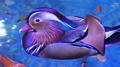 Mandarin Duck Male (Aix galericulata) Stock Footage
