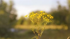 Yellow camomiles in the field Stock Footage