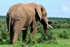 Elephant, Addo Elephant National park, South Africa Stock Photos