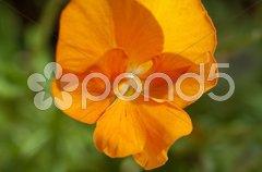 Orange pansy Stock Photos