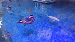 Mandarin Ducks Couple (Aix galericulata) Stock Footage