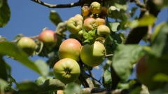 Tasty juicy organic apples on the tree fruit and food background 4K  Stock Footage