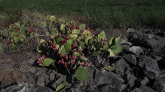 Prickly Pear Cactus in rocks. Stock Footage