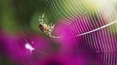 Spider is building a Spiderweb, Close Up. SLOW MOTION 240 fps. Stock Footage