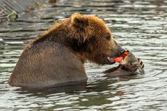 Brown bear eating caught salmon with red caviar in Kurile Lake Stock Photos