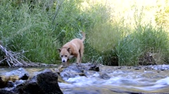 Dog crossing running stream, slipping on wet log Stock Footage