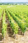 Grand cru vineyard near Fixin, Cote de Nuits, Burgundy, France Stock Photos