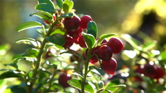 Red cranberries with dew drops. Human hand plucks berries. Close-up. Slow motion Stock Footage