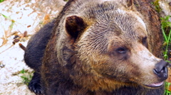 4K Grizzly Bear, Dark Brown Wild Mammal, Top Down POV Shot Stock Footage