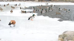 Lots of ducks in winter on ice of a pond fed by people Stock Footage