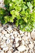Unripe grapevine, vineyards near Chateauneuf-du-Pape, Provence, France Stock Photos