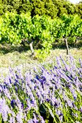 Lavender field with vineyard, Drome Department, Rhone-Alpes, France Stock Photos