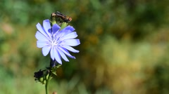 Fly on the chicory flower Stock Footage