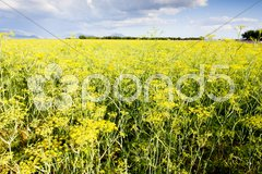 Field, Plateau de Valensole, Provence, France Stock Photos