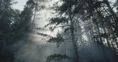 Sunlight sunset penetrate through the pine forest and give mystique Stock Footage