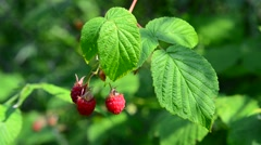 Raspberry on branch. Summer sunny day Stock Footage