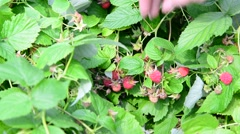 A woman collects raspberries harvest in country Stock Footage