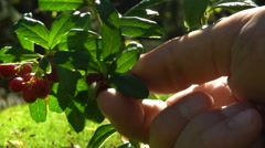 Human hand picks a red cranberries in the woods. Close-up. Slow motion. Stock Footage