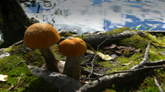 Orange-cap boletus on the shore of forest lak in Finland. Slow motion. Stock Footage