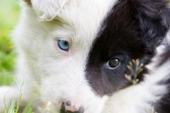 Border Collie puppy on a farm Stock Photos