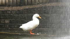 White duck and fountain / Slow motion Stock Footage