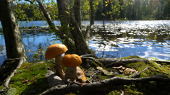 Orange-cap boletus on the shore of forest lake in early autumn in Finland. Stock Footage